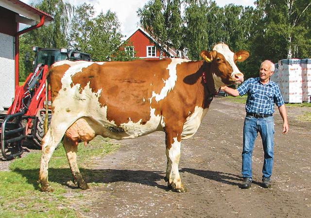 Lars Pehrson tar ut stiliga kon Charmaine 491. Hon tvekar först, vill nog inte vara med på bild. Sen får Lars truga henne tillbaka till ladugården.