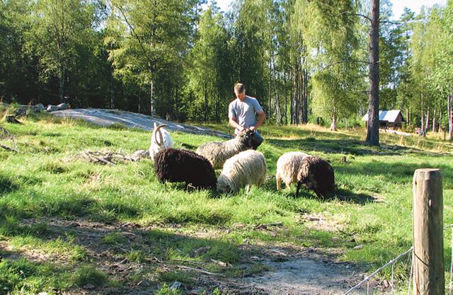 Jacob ser till att ge foder till baggarna. De blir mat för familjen och en del säljs vidare.