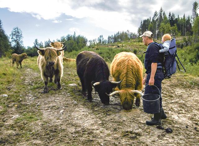 Peter med Ella på ryggen. Extra foder på gång till kossorna av rasen highland cattle.
