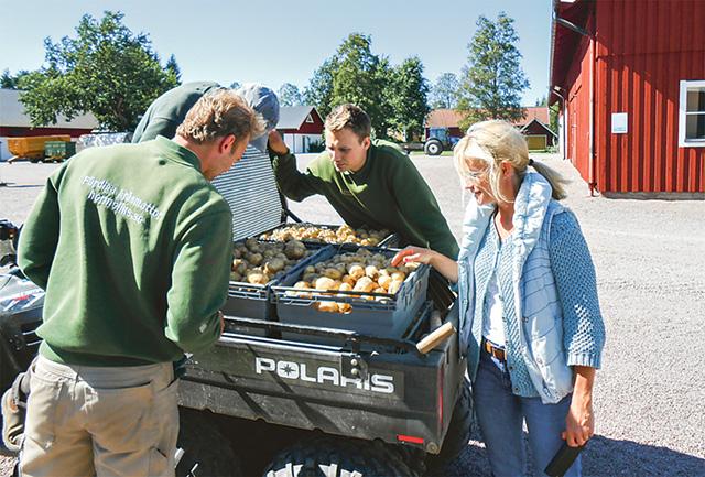 Nyupptagen potatis av sorten Melody inspekteras för att sedan levereras till Skänninge stadshotell.