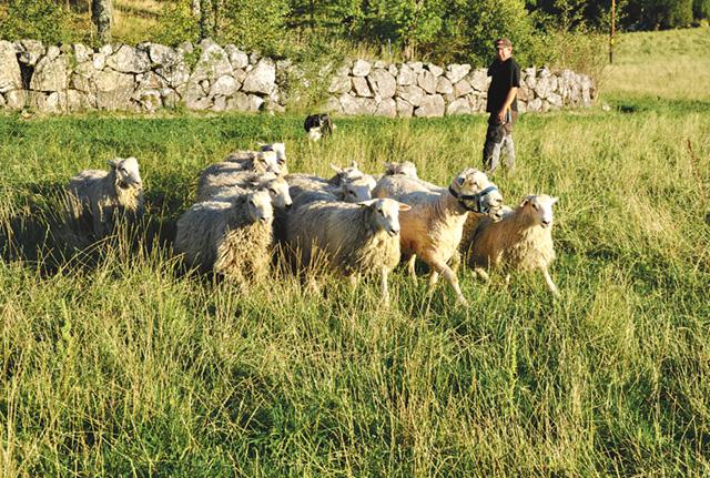 Carl Loord, heltidsanställd på gården, hämtar några får tillsammans med vallhunden Zam.