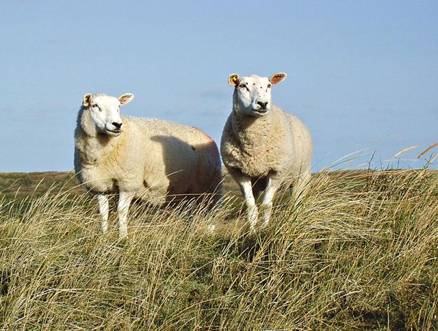 Totalt har ett 75-tal djur fallit offer för vargen på Molstabergs säteri utanför Södertälje. Bild: WIKIMEDIA