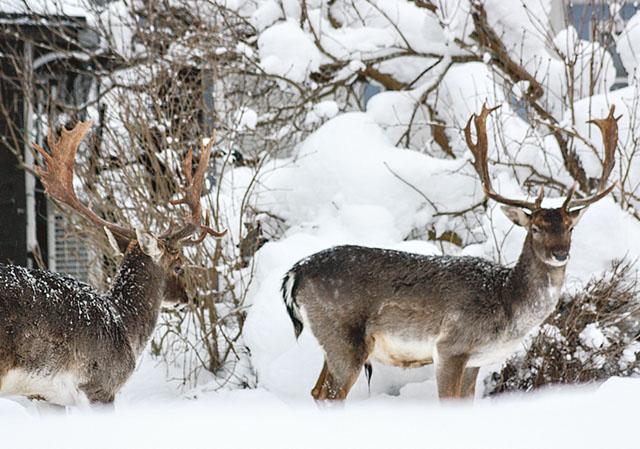 Dovhjorten har vuxit sig stark runt Åtvidaberg och gör besök i trädgårdar allt som oftast. Det illustrerar att det djurslag som härnäst kan förväntas tillväxa utöver det önskvärda bedöms vara hjortdjur. Bild: KLAS-GÖRAN WENNERSTRÖM