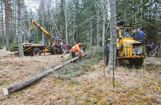 Anders Hultman, Nostalgitraktorklubbens ordförande, fällde en tall som var kullblåst och lutade mot ett annat träd assisterad av Arne Bohlins skotare.