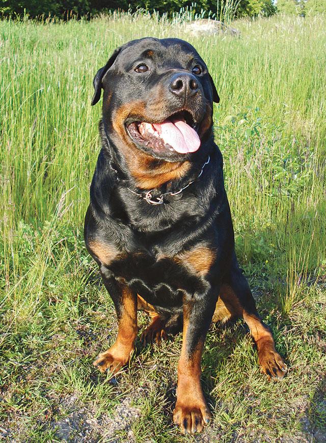 Rottweilers är ofta bra vakthundar och detta på grund av deras uppmärksamhet och vänta- och-se attityd.