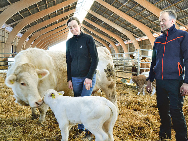 I år förväntas det bli 140 kalvningar på gården Vita Fall.
