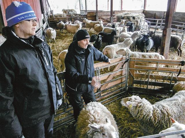 Fårbesättningen på Torphaget. Jan och Gunborg sköter fåren tillsammans.