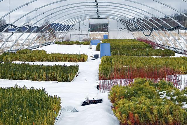 Inne i ett av de två stora växthusen där plantor av gran, tall, björk och masurbjörk växer.