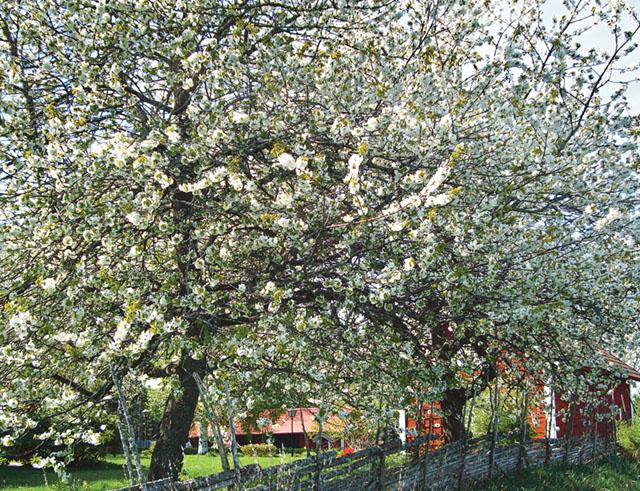 Många passar på att ta en tur till Skärlunda by för att njuta av körsbärsträdens blomning i maj. Det gäller att passa på för på några få dagar kan allt vara över.